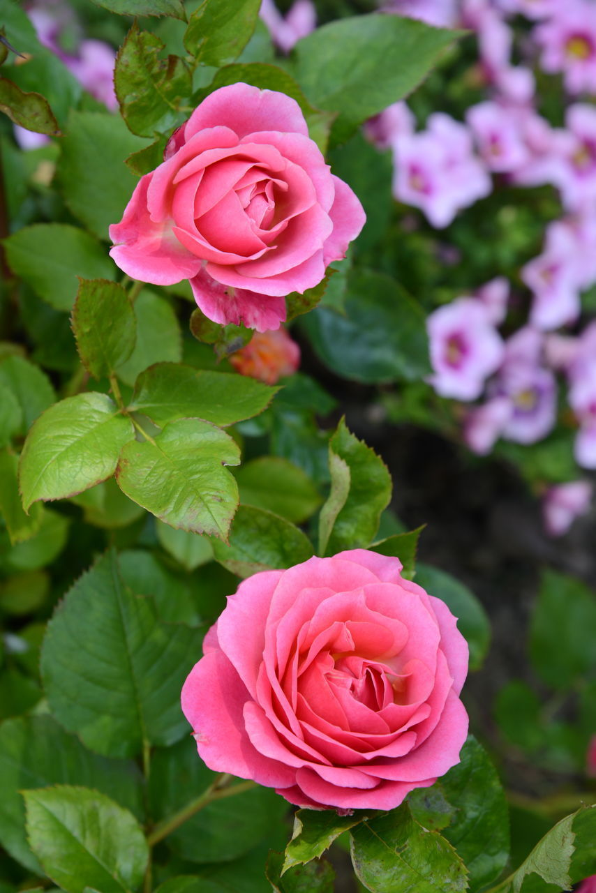 CLOSE-UP OF ROSE WITH PINK ROSES