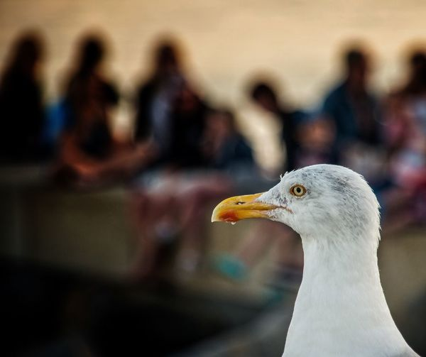 A local enjoying the evening by the sea. Bird Seagull Coast Sea Resort Wildlife Evening Outdoors Animals In The Wild Focus On Foreground Nature Close-up Streetphotography Capturing Freedom Street People Watching Coastal Town Dorset Seagulls And Sea Seagull Serenity Sunset