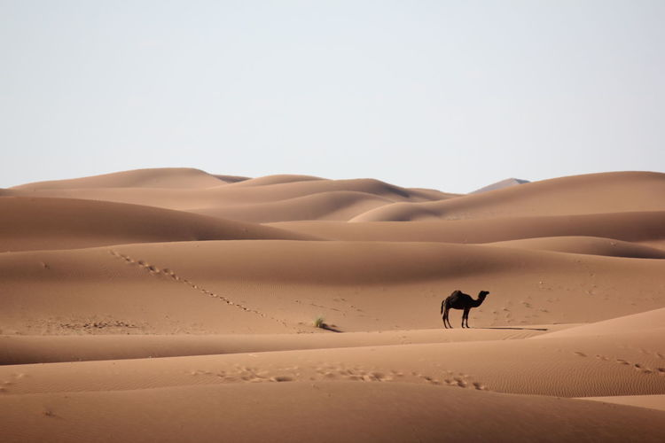 A camel in the sahara desert in morocco.