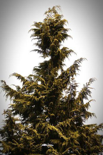 Sweden 2017 Februari Niklas Showcase February 2017 Hågelby Huddinge Tree Pinaceae Pine Tree Pine Woodland Nature Beauty In Nature Outdoors BYOPaper! The Week On EyeEm Perspectives On Nature