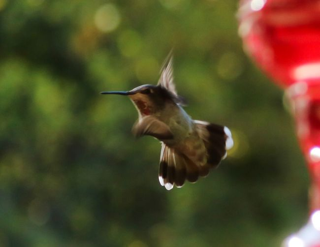 Animal Wildlife Animal Themes Animals In The Wild Animal Vertebrate Bird Flying Hummingbird Motion One Animal Spread Wings Mid-air No People Blurred Motion Nature Focus On Foreground Day Close-up Outdoors Beak