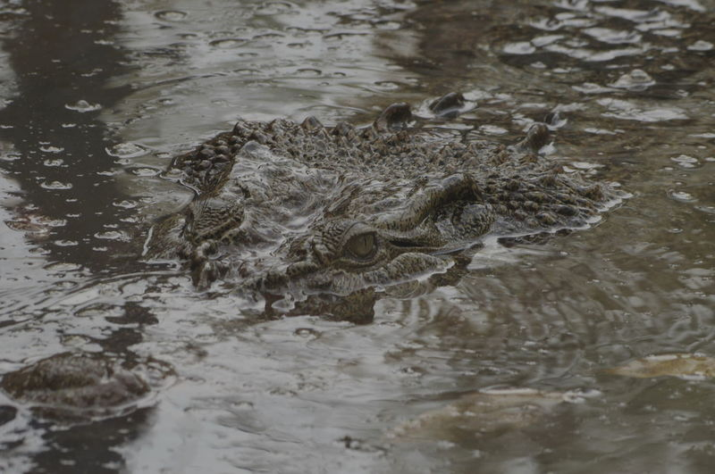 Mini Zoo Bintan Animal Themes Animal Wildlife Close-up Crocodile Day One Animal Swimming Water