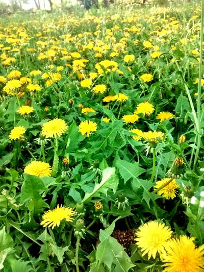 Beauty In Nature Blooming Close-up Dandelion Dandelion Field Day Field Flower Flower Head Fragility Freshness Green Color Growth Leaf Nature No People Outdoors Petal Plant Yellow