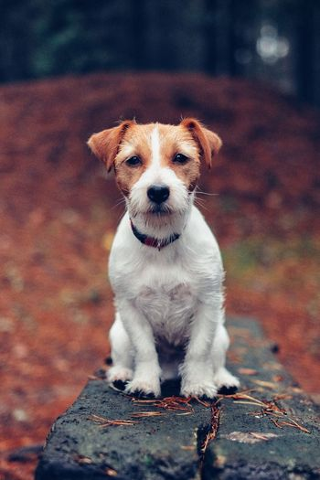 Portrait of jack russell terrier on wood during autumn