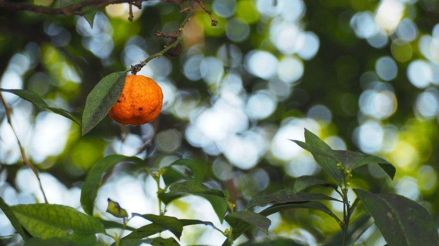 Fruit Leaf Tree