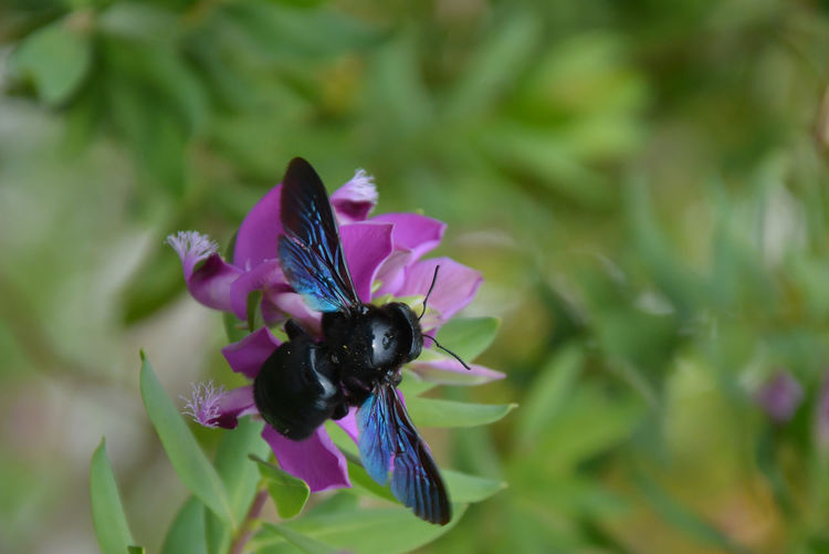 Animal Animal Themes Animal Wildlife Animals In The Wild Beauty In Nature Black Bee Close-up Day Flower Flower Head Flowering Plant Fragility Freshness Huge Bee Insect One Animal Petal Pollen Purple Vulnerability