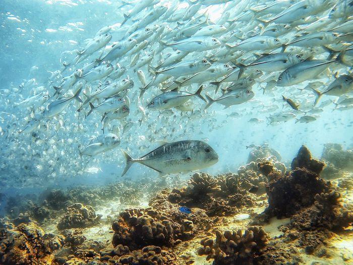 Pradator SCUBA Marine Diving Jacks Fish Water Underwater Nature UnderSea Large Group Of Animals No People Sea Beauty In Nature Sea Life Outdoors Animal Themes