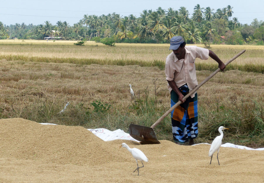 Sri Lanka Farmer Field Grain Harvest Land Landscape Nature One Person