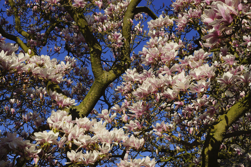 Magnolia flower blossom trees in springtime Arboles Blue Color Boom Flowers Magnolia Magnolia Tree Magnolia_Blossom Magnolias Pink Color Sky Spring Spring Flowers Springtime Tree árbol