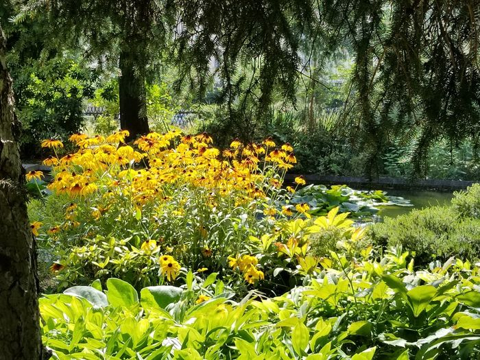 Black-eyed Susan flowers in full bloom at the Botanical Garden. Pine Tree Tree Trunk Tree Bark Pine Needles Pond Water Water Lily Lillypads Serene Serenity Trees Water Feature Nature Flowers Yellow Europe Czech It Out Tree Flower Grass Plant Botanical Garden Peaceful Foliage Lush Flora Leaves