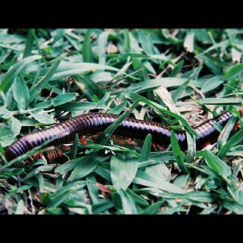 Kakiseribu Arthropod Animalia Millipede grass open air bit failure lens simple macro angle blurring vsco vscocam vscoanimal
