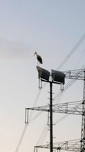 Animal Themes Animal Wildlife Animals In The Wild Bird Cable Connection Day Electricity  Electricity Pylon Low Angle View Nature No People One Animal Outdoors Perching Power Supply Sky