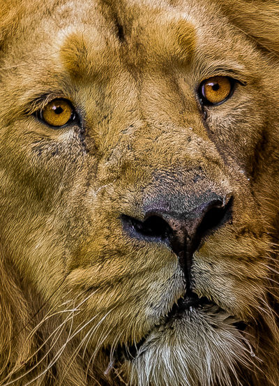 Extreme close up of a lion