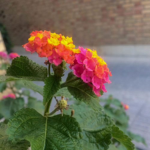 Beauty In Nature Bunch Of Flowers Close-up Day Flower Flower Head Flowering Plant Fragility Freshness Growth Inflorescence Lantana Leaf Nature No People Outdoors Petal Pink Color Plant Plant Part Vulnerability