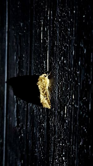 Troutdale, Oregon Moth Wall Side Of My House  Night Time