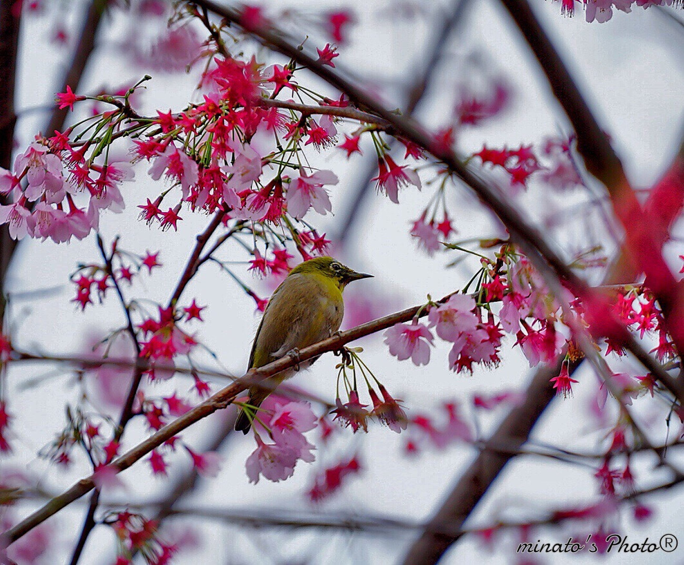 animal themes, animals in the wild, flower, one animal, wildlife, branch, bird, perching, pink color, low angle view, beauty in nature, tree, nature, freshness, fragility, insect, growth, focus on foreground, blossom, close-up