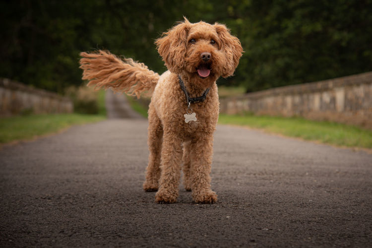 Ginger Cockapoo