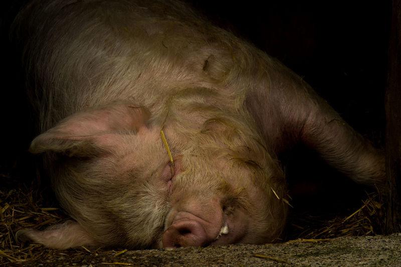 Close-up of a sleeping pig