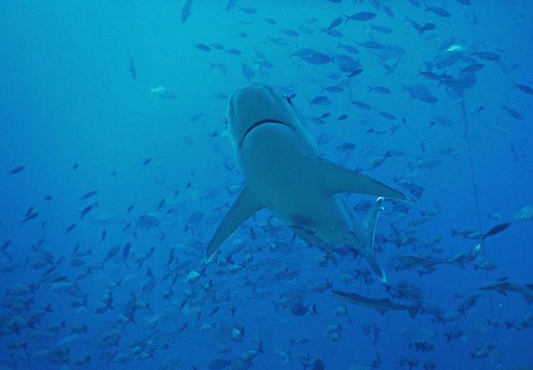 Sharks in Fiji