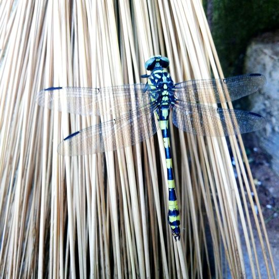 Dragonfly_of_the_day Dragonfly Photograohy Dragonfly Closeup Dragonfly Nature Insects Animal Wing Animal Themes Mobile Phone Photography Still Life Mobilephonephotography Mobile Phone No People Close-up Day Wood - Material Art And Craft Pattern