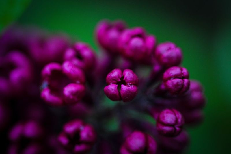 Floral Beauty Flowering Plant Flower Plant Beauty In Nature Freshness Close-up Petal Purple Growth Fragility Vulnerability  Nature No People Selective Focus Flower Head Pink Color Inflorescence Outdoors Day Softness