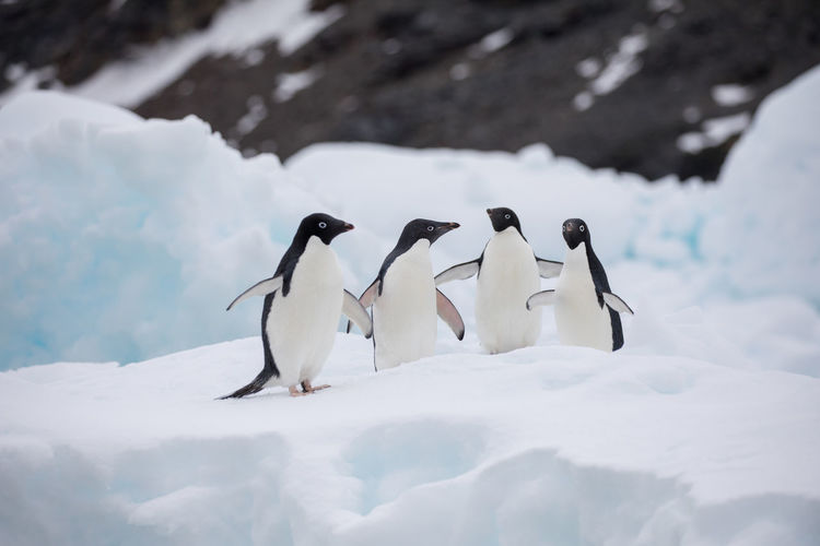 Penguins perching on snowy field