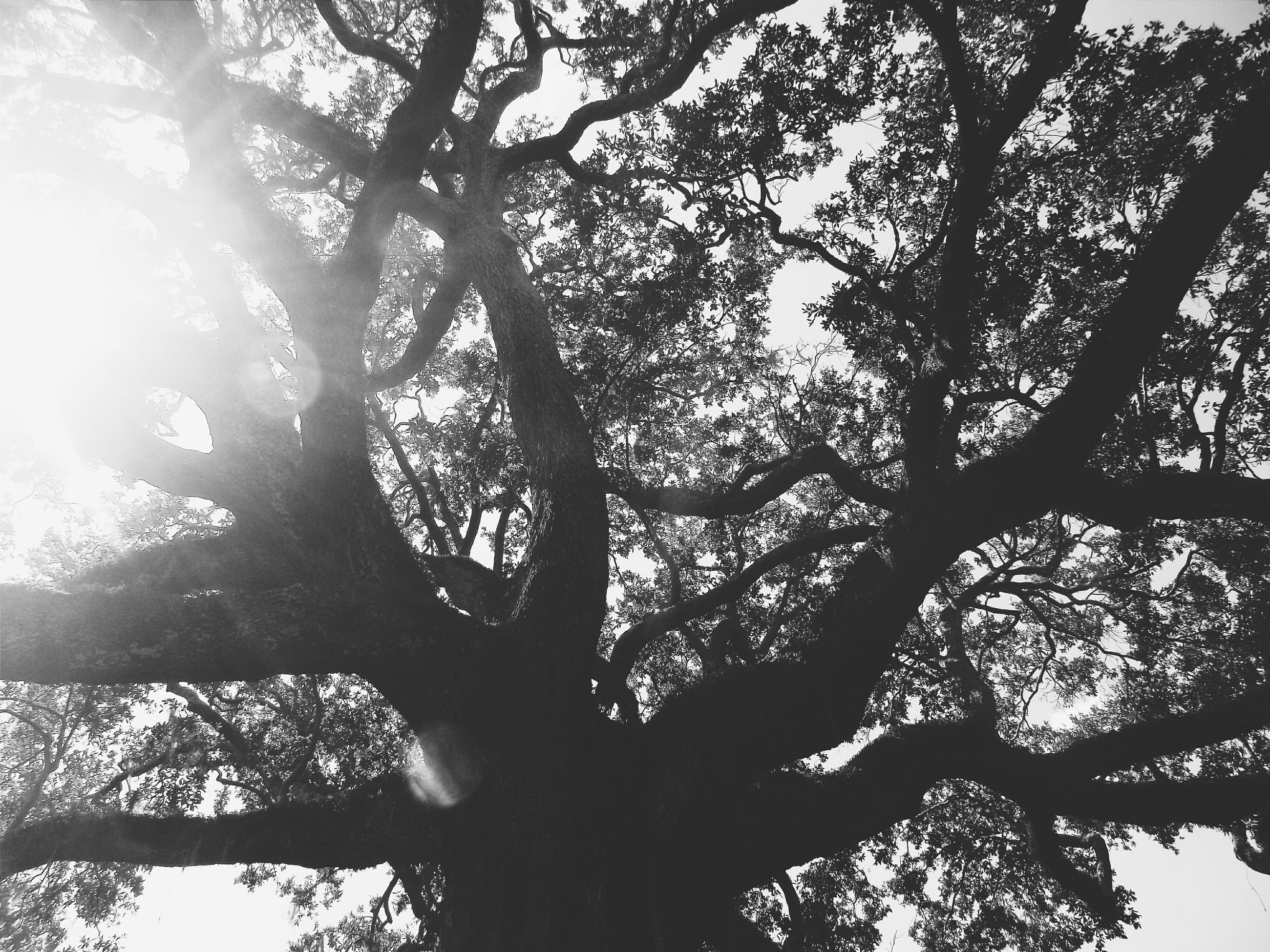 tree, low angle view, branch, growth, nature, tranquility, beauty in nature, sky, silhouette, tree trunk, scenics, sun, clear sky, sunlight, outdoors, no people, tranquil scene, day, back lit, idyllic
