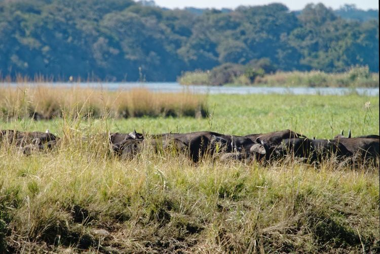 Herd of buffalo hiding behind river bank Buffalo Cape Buffalo Riverbank Riverside Namibia Caprivi Africa Okovango River Okovango Cubango River EyeEm Selects Safari Animals Water Grass Safari Swamp Marsh Savannah Wetland Wildlife Reserve