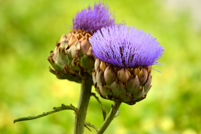 Artichoke Thistle Cardoon Artichoke Thistle Beauty In Nature Beginnings Blooming Botany Bud Close-up Day Flower Flower Head Focus On Foreground Fragility Freshness Green Color Growth Nature New Life No People Outdoors Petal Plant Purple Selective Focus Spiked Thistle