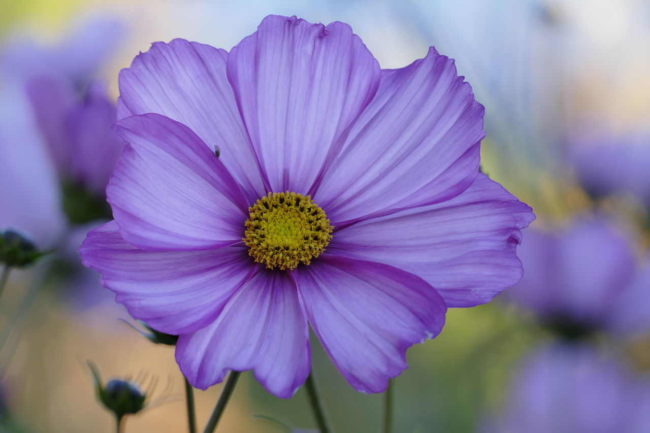 flower, petal, beauty in nature, fragility, focus on foreground, flower head, nature, no people, purple, plant, day, close-up, freshness, outdoors, growth, blooming, osteospermum