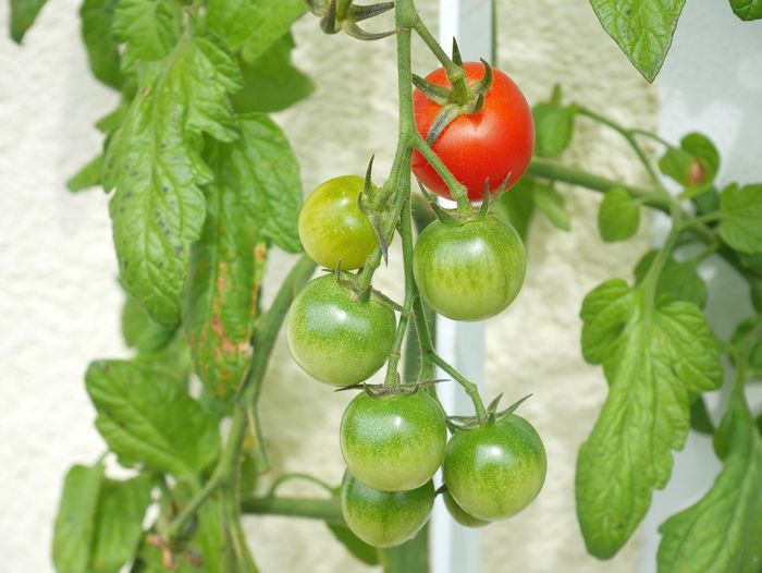 Tomatoes From