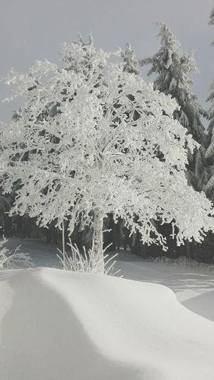 Untouched Snowymountain Peaceful White Scenery Tree Winter Wonderland