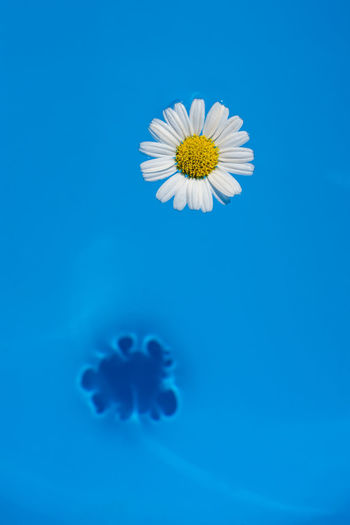 A daisy floating in the water.