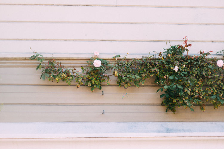 Rose growing along a wooden wall in San Francisco, California, United States California Copy Space Horizontal San Francisco United States Architecture Beauty In Nature Close-up Day Flower Fragility Freshness Green Color Growth In Blom Ivy Leaf Nature No People Outdoors Plant Rose - Flower Travel Destinations Window Box Wood - Material
