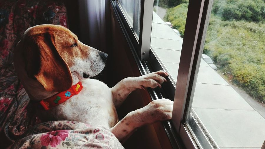 Dog Window One Animal Animal Themes Water Rear View Cleaning Wet Indoors  Day Pets No People Mammal Domestic Animals Washing Beagle Fidelidad Esperando Dogs Of EyeEm Dog Love