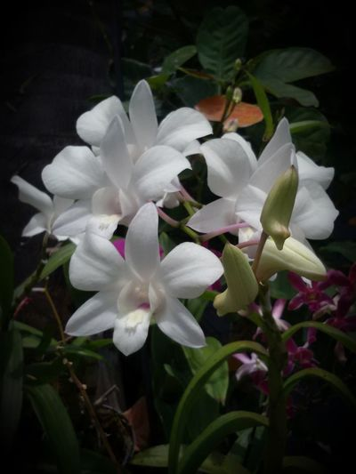 Orchid Beauty In Nature Close-up Day Flower Flower Head Flowering Plant Freshness Leaf No People Outdoors Plant Plant Part White Color