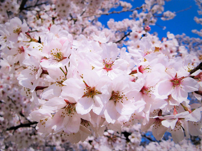 Beauty In Nature Blossom Branch Cherry Blossom Cherry Blossoms Close-up Day Flower Flower Head Freshness Growth Nature No People Outdoors Petal Pink Color Sky Springtime Tree Twig