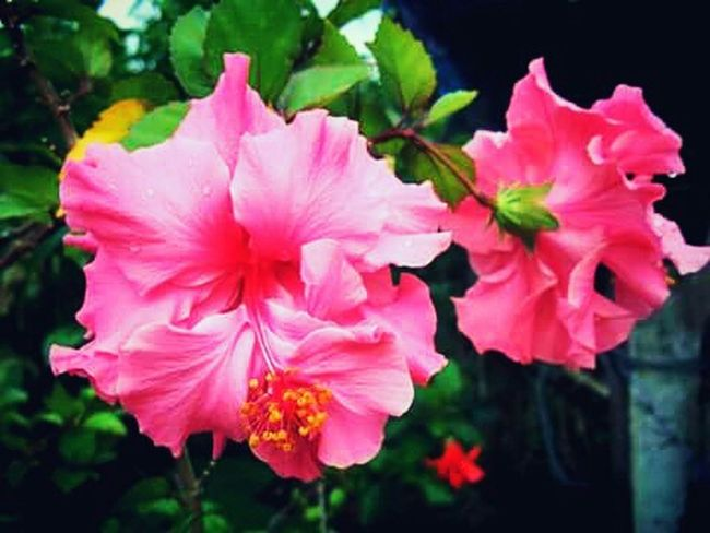 I love pink flowers. 🌸 First Eyeem Photo Greenery Flowers,Plants & Garden Things That Are Green Nature EyeEm Best Shots - Flowers Flowers To The World Beautiful Surroundings Eyeem Nice Shots