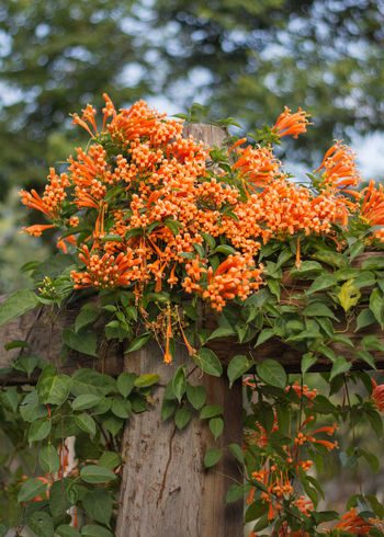 Color Pyrostegia Venusta Beauty In Nature Day Flower Growth Nature No People Outdoors พวงแสด