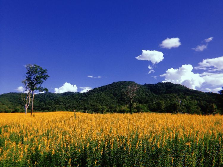 Yellow field Chiangrai,Thailand Chiangrai Yellow Flowers Yellow Nature Growth Agriculture Landscape Flower Field Beauty In Nature Sky Tree Plant Blue Mountain
