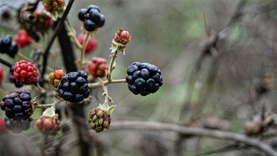 Blackberry Blackberry Bogurtlen Fruit Fruits Meyve Nature Türkiye
