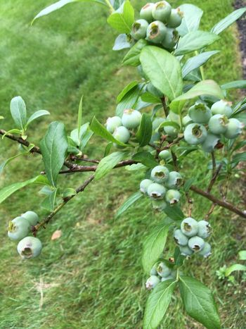 Waiting for the blueberries to ripen Beauty In Nature Close-up Day Flower Focus On Foreground Food Food And Drink Freshness Fruit Green Color Growth Healthy Eating Leaf Nature No People Outdoors Plant Plant Part Ripe Selective Focus Tree
