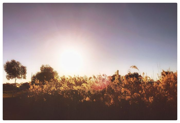 Sunset_collection Sunlight No People Growth Nature Tree Beauty In Nature Tranquility Outdoors Field Sunlight Plant Sun Scenics Sky Landscape Sunset Day Flower Freshness EyeEm Nature Lover