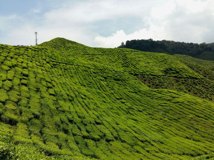 Tea Time... Relaxing Light Green Color Light And Shadow Live Park Flower Tea Crop Rural Scene Agriculture Field Tree Tree Area Green Tea Sky Landscape Cloud - Sky Plantation Agricultural Field Farmland Tea Leaves Organic Farm Farm