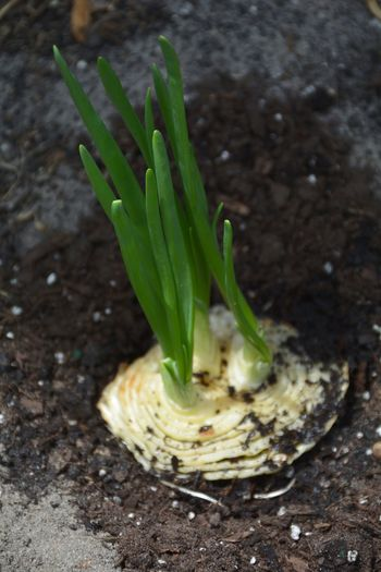 planting sprouting onion, scraps from the kitchen Green Color Vegetable Food No People Healthy Eating Close-up Freshness Nature Growth Plant Outdoors Growing Edible  Garden New Growth Onion Freshness Homegrown Produce Homegrown Kitchen Garden Gardening Close-up Gardening High Angle View