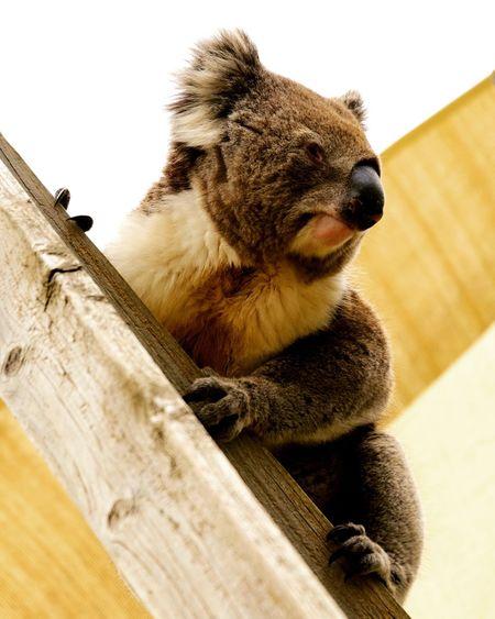 Low angle view of koala sitting on wood