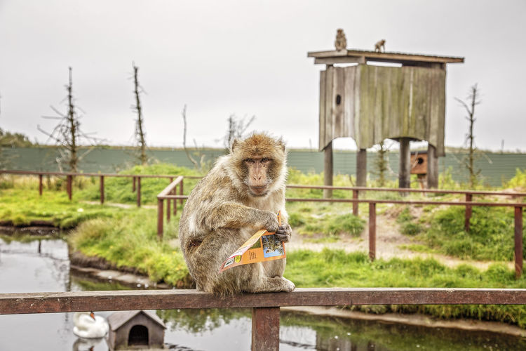 Monkey holding paper while sitting on railing over river against sky