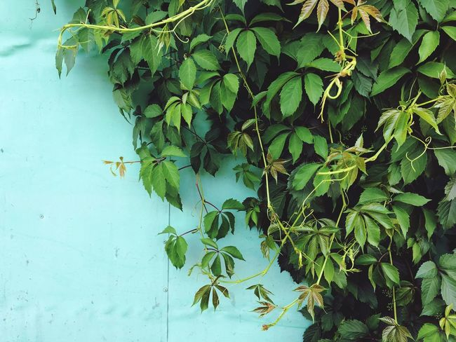 Wild grape branches over light blue wall EyeEmNewHere Tuquoise Wall Grape Nature In The City Leaf Plant Part Plant Green Color Growth Nature Day Beauty In Nature No People Tranquility Outdoors Leaves Branch EyeEmNewHere
