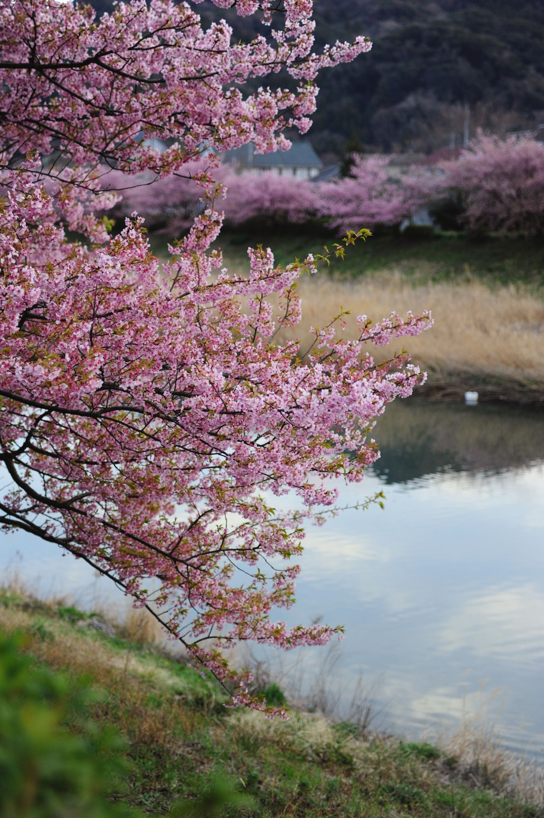 flower, tree, beauty in nature, water, growth, nature, pink color, branch, tranquil scene, tranquility, scenics, freshness, lake, plant, blossom, outdoors, day, river, idyllic, sky