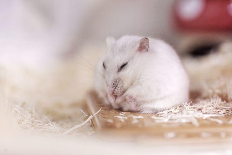 Image of a sleepy white hamster.